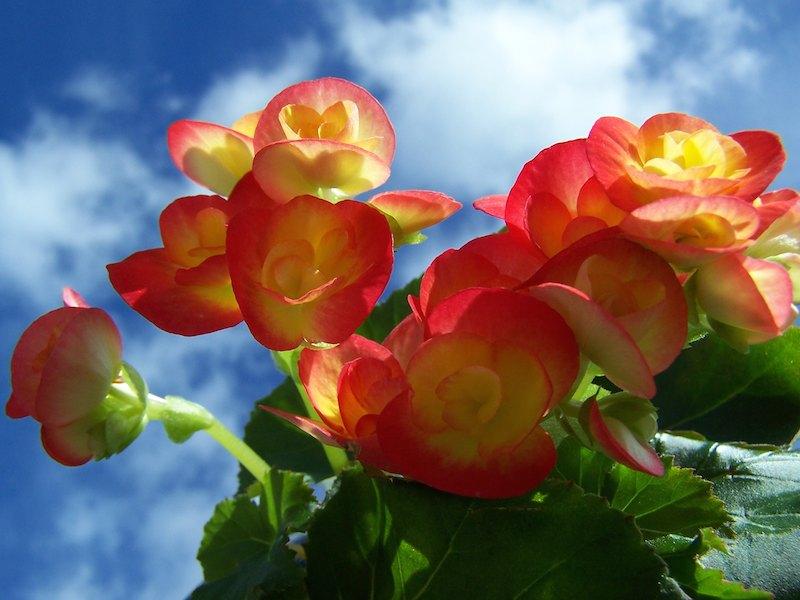 Begonien als Zwiebelblumen