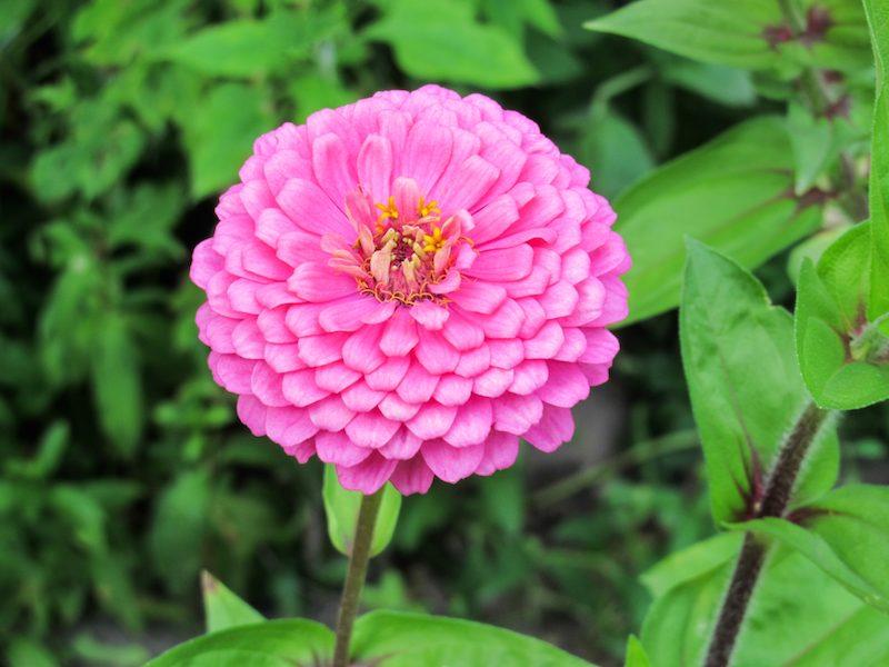 Dahlien als Zwiebelblumen