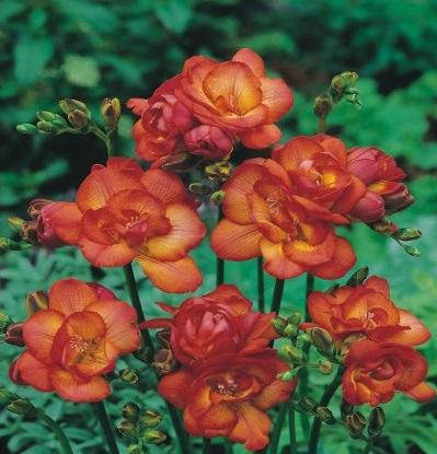 Einpflnazen von Zwiebelblumen