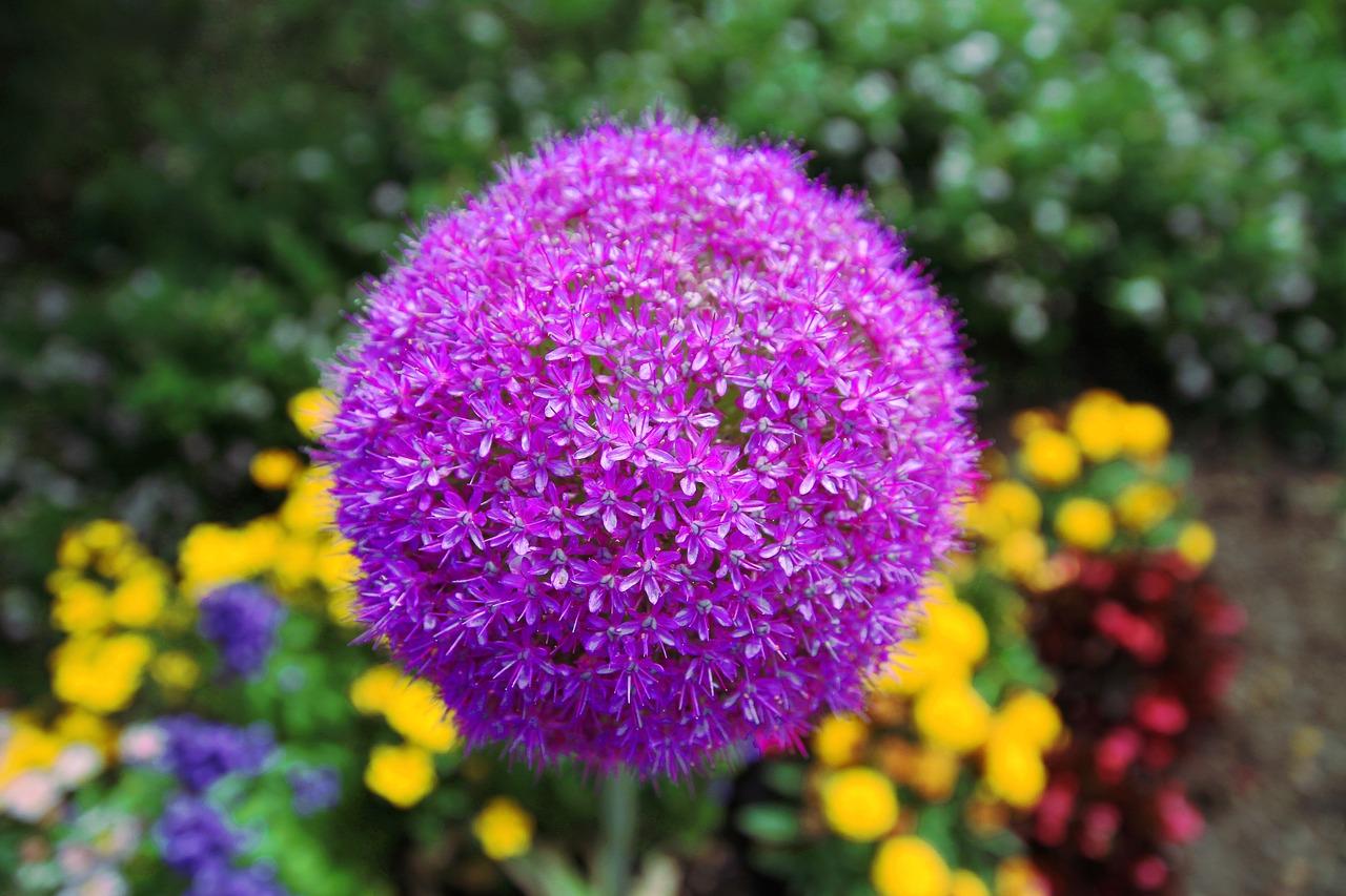 Zierlauch-Allium